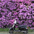 Rhododendronblüte im Ammerland - Edewechterdamm - Vespa GTS 300